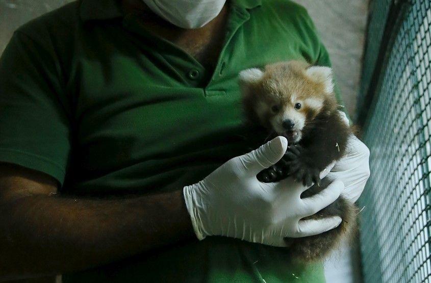 Kızıl pandalar ailenin yeni üyelerine kavuştu - Sayfa 2