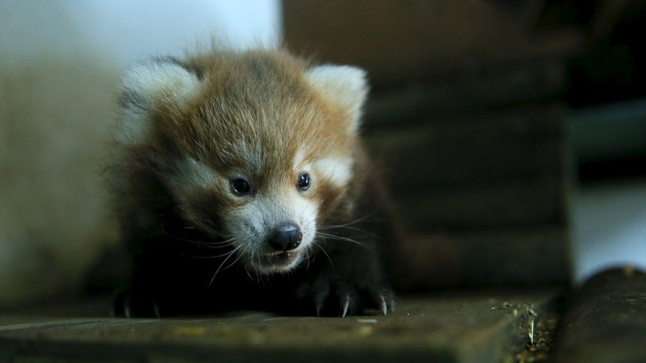 Kızıl pandalar ailenin yeni üyelerine kavuştu - Sayfa 3