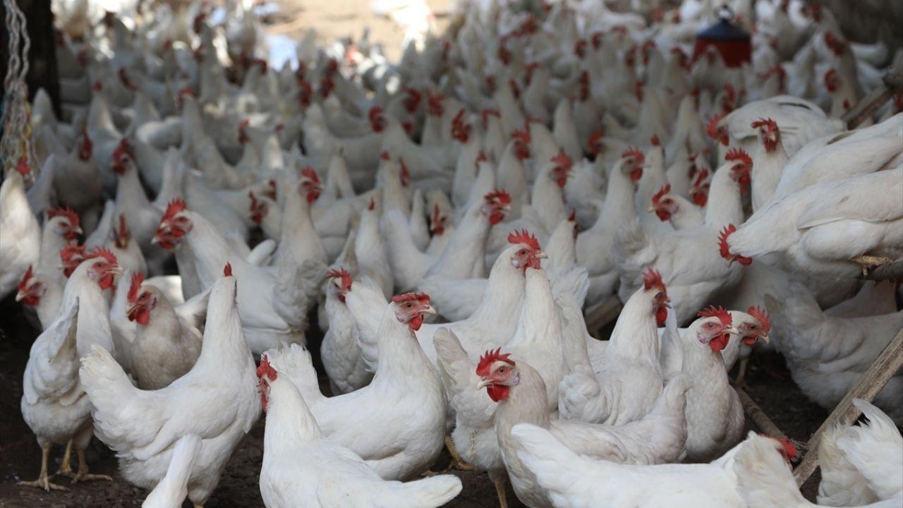 Bahçesinde binlerce tavuk yetiştiriyor - Sayfa 2