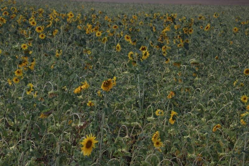 Ağrı'daki ayçiçeği bereketi mevsimlik işçilerin gelir kapısı oldu - Sayfa 1