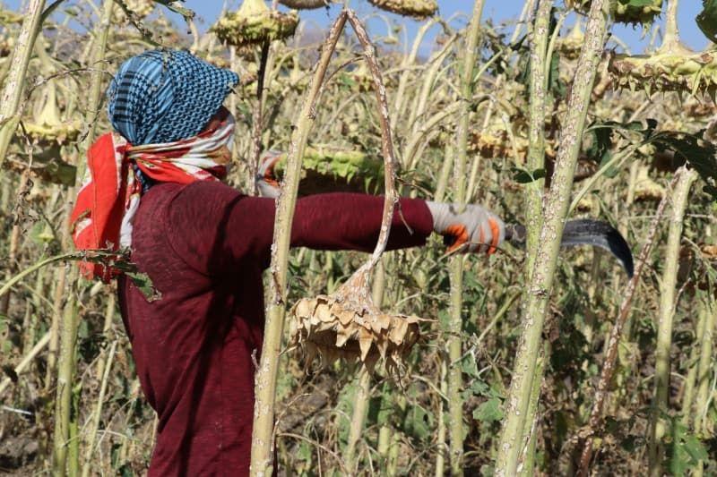 Ağrı'daki ayçiçeği bereketi mevsimlik işçilerin gelir kapısı oldu - Sayfa 4