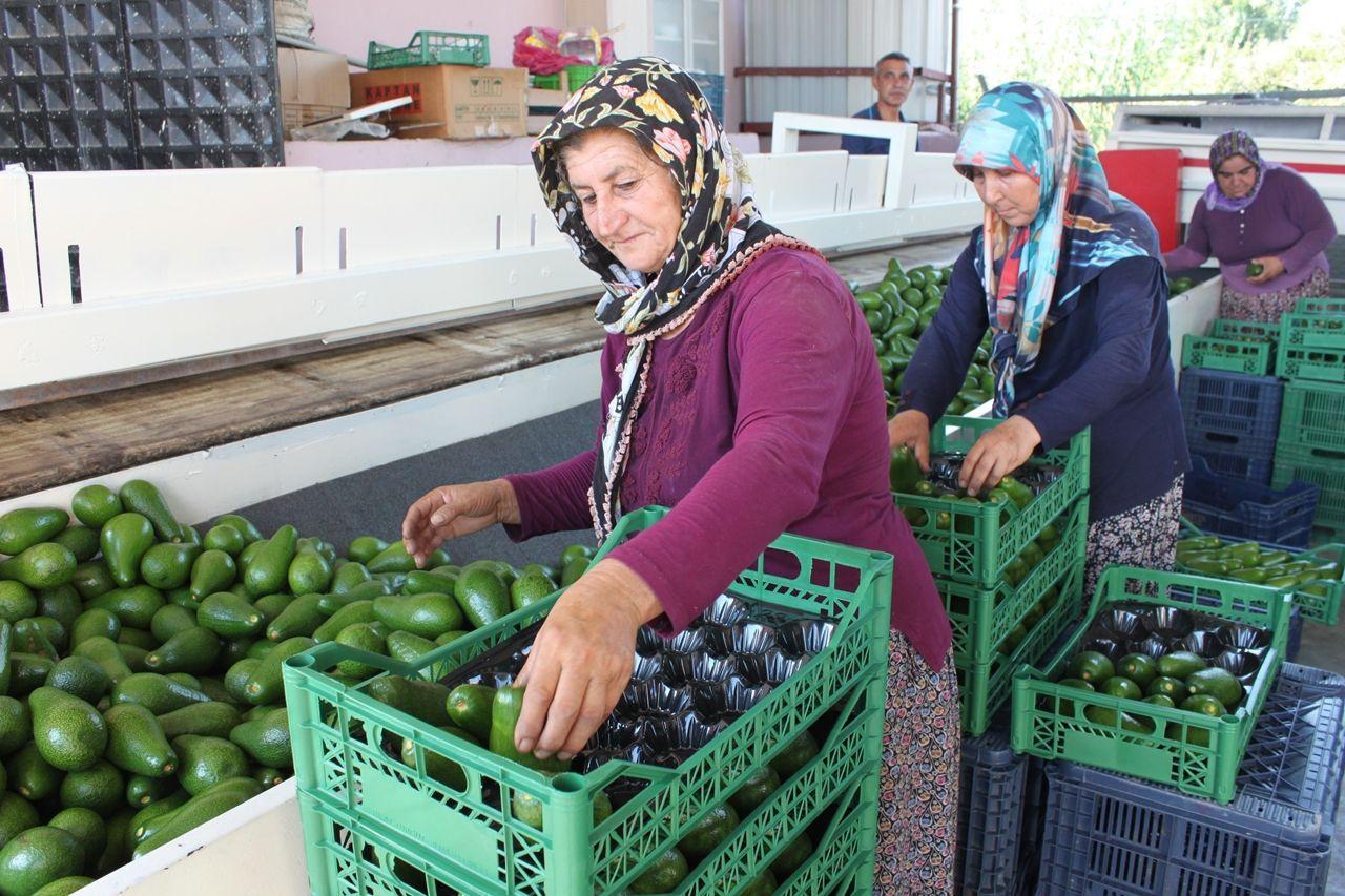 Avokado toplandığı gün ihracat yolculuğuna çıkıyor - Sayfa 4