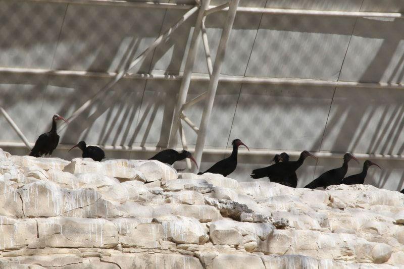 Şanlıurfa'da kelaynakların korunması için başlatılan proje başarılı oldu - Sayfa 4