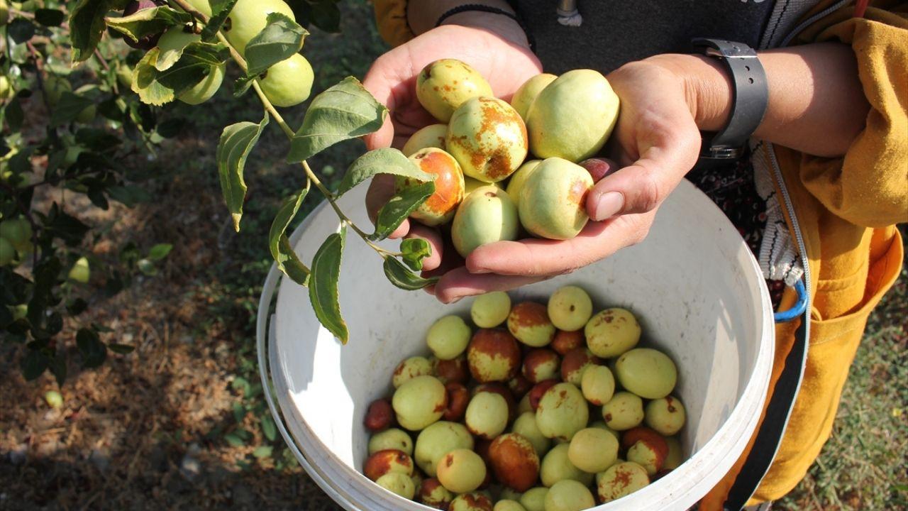 Amasya'da 'Ölümsüzlük meyvesi' hünnap yetiştiriciliği yaygınlaşıyor - Sayfa 1