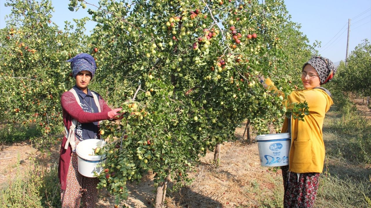 Amasya'da 'Ölümsüzlük meyvesi' hünnap yetiştiriciliği yaygınlaşıyor - Sayfa 2