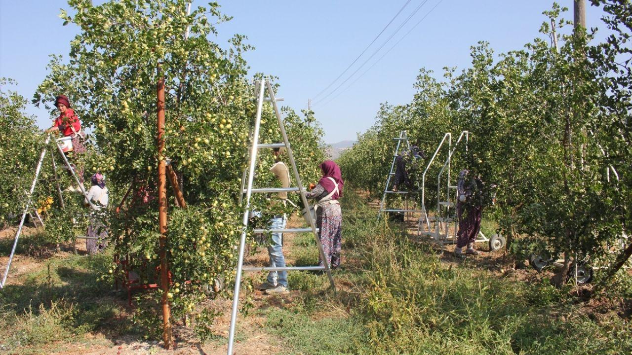 Amasya'da 'Ölümsüzlük meyvesi' hünnap yetiştiriciliği yaygınlaşıyor - Sayfa 4