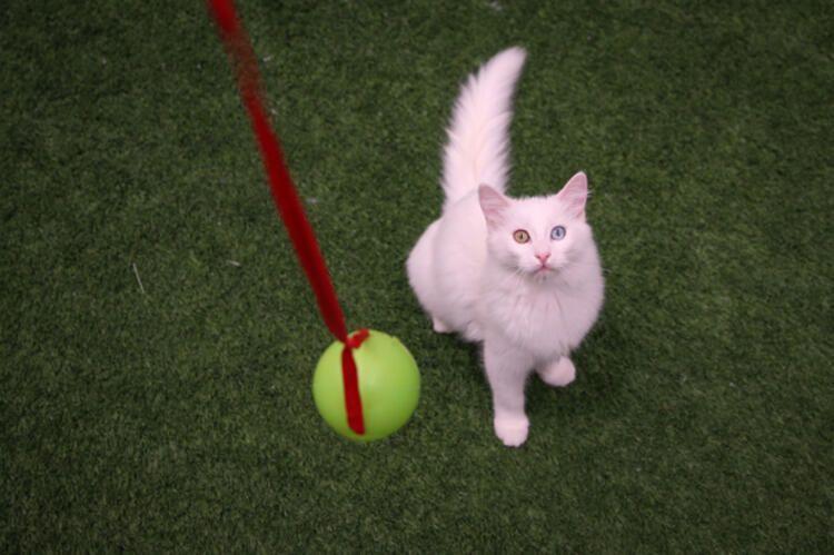 Salgın sürecinde Van kedileri uzaktan seviliyor - Sayfa 3