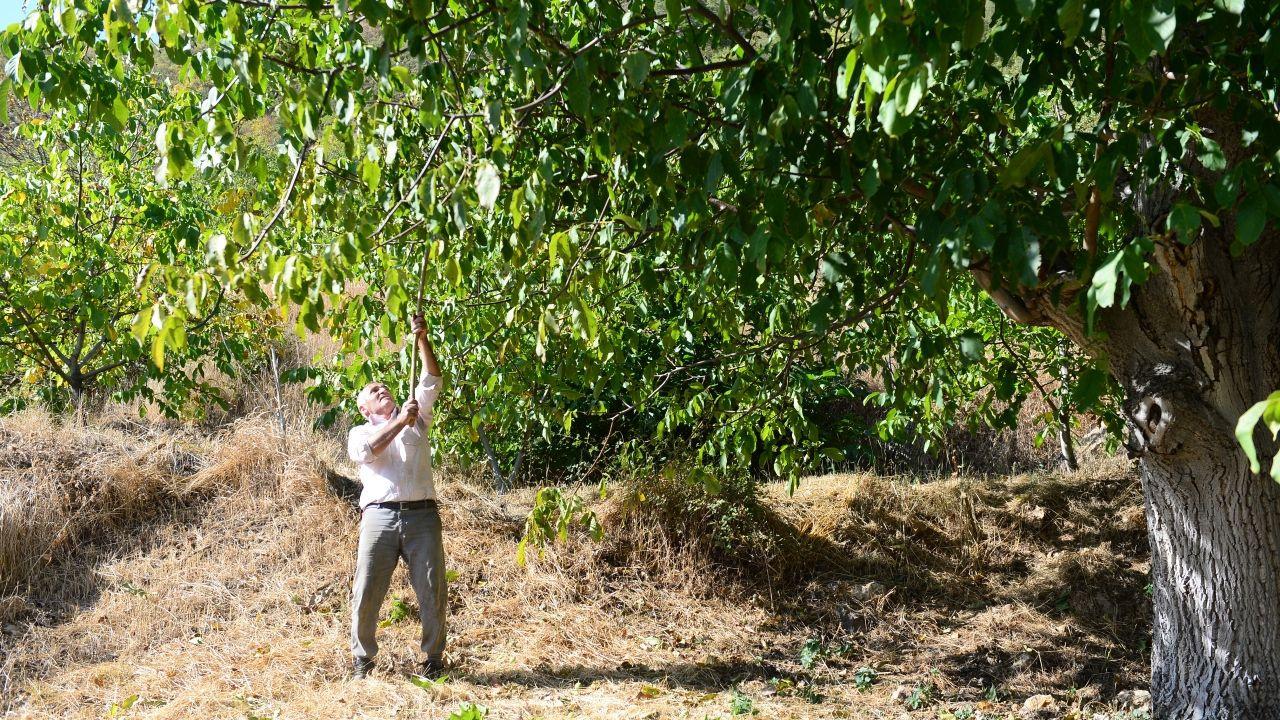 Tescilli Şebin cevizi'nde üreticiler hasat zamanı - Sayfa 2
