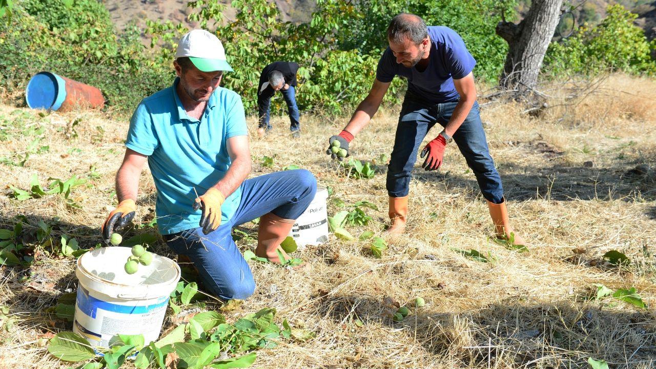 Tescilli Şebin cevizi'nde üreticiler hasat zamanı - Sayfa 3