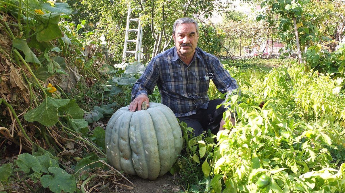 Keban'da 60 kilogramlık bal kabağı yetiştirildi - Sayfa 2