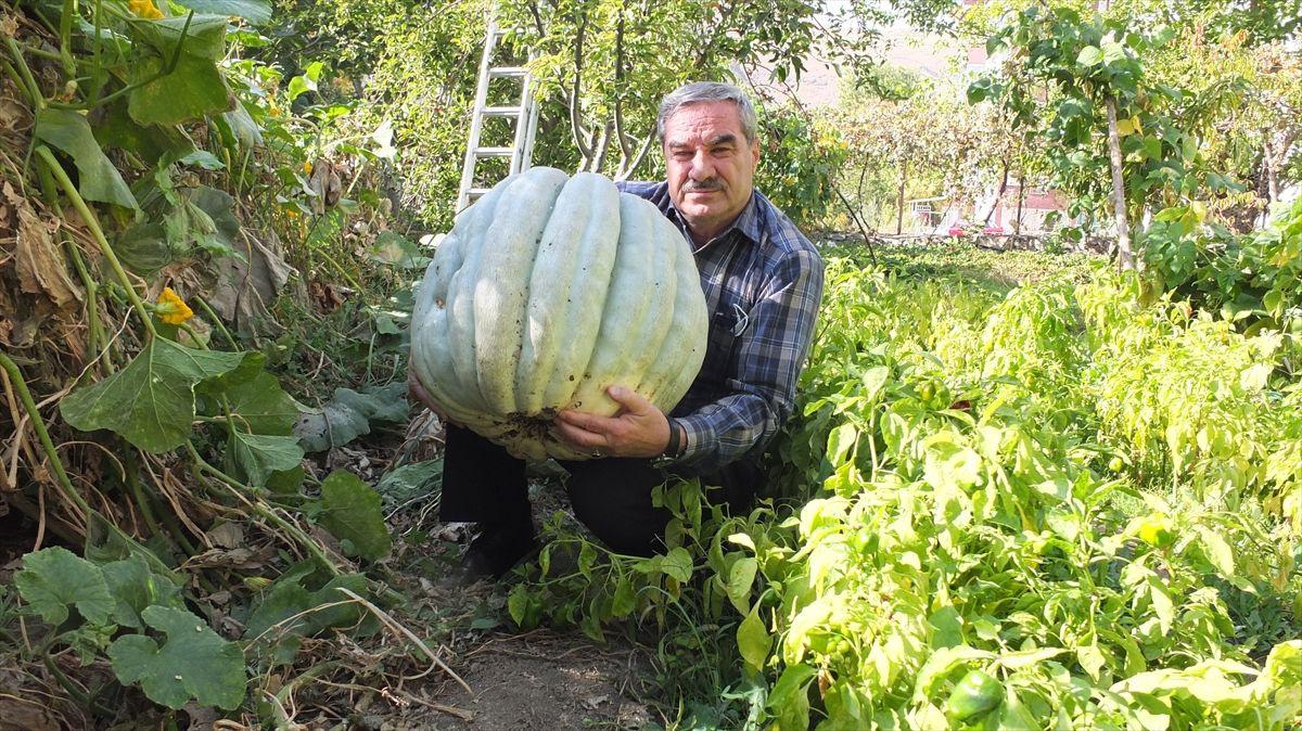 Keban'da 60 kilogramlık bal kabağı yetiştirildi - Sayfa 3