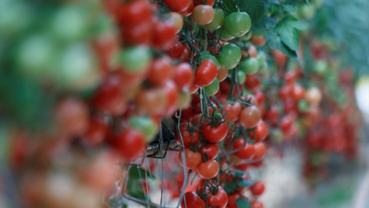 Türkiye'nin domates ihracatı 313 milyon 405 bin dolara yükseldi - Sayfa 1