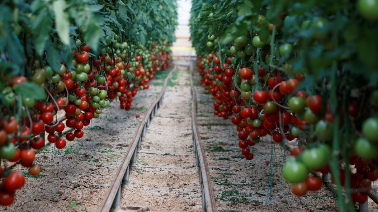 Türkiye'nin domates ihracatı 313 milyon 405 bin dolara yükseldi - Sayfa 2