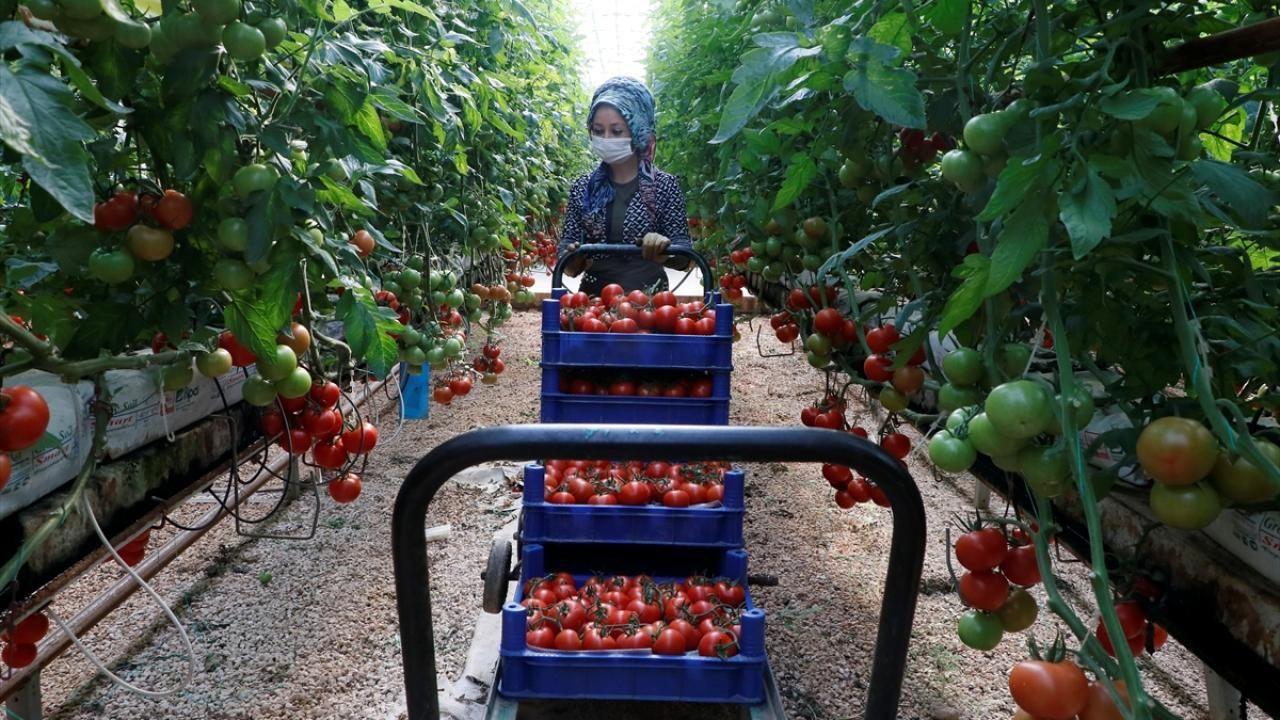 Türkiye'nin domates ihracatı 313 milyon 405 bin dolara yükseldi - Sayfa 3