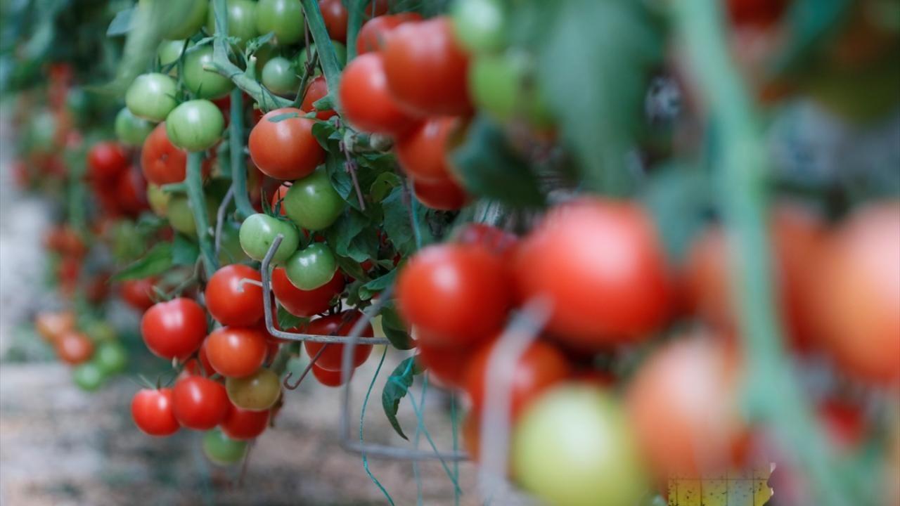 Türkiye'nin domates ihracatı 313 milyon 405 bin dolara yükseldi - Sayfa 4