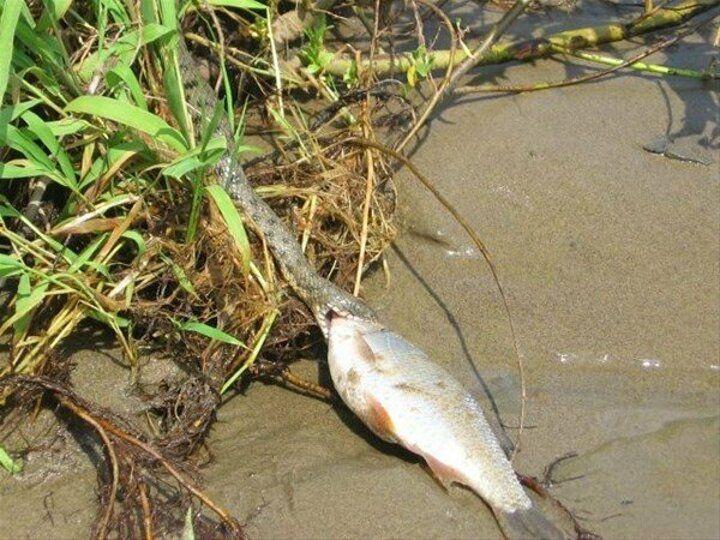 İşte yılanın balık avı saniye saniye - Sayfa 4