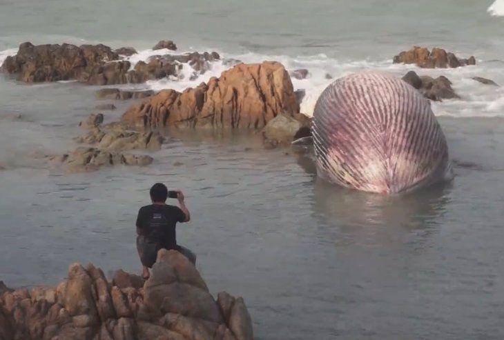 Gören telefona sarıldı! Bir ton ağırlığında metrelerce uzunlukta dev balina kıyıya vurdu. - Sayfa 1