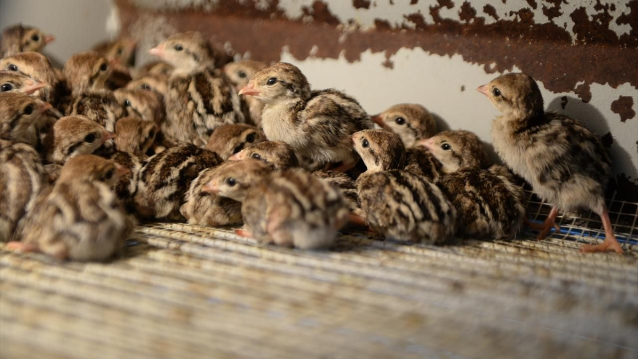 Kahramanmaraş'ta 2020 yılında 15 bin kınalı keklik yetiştirildi - Sayfa 1
