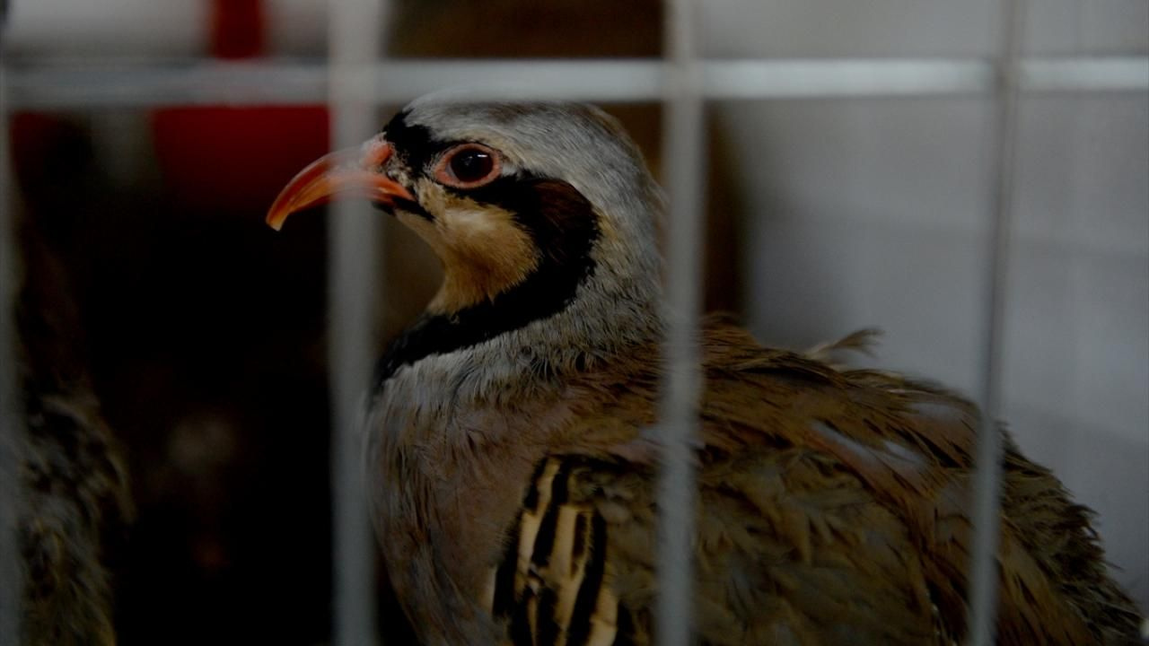 Kahramanmaraş'ta 2020 yılında 15 bin kınalı keklik yetiştirildi - Sayfa 4