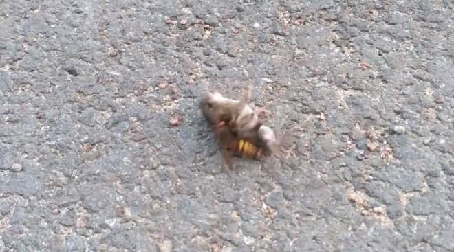 Dakikalarca kurtulmaya çalıştı ancak nafile! Eşek arısının fare avı dehşete düşürdü - Sayfa 1
