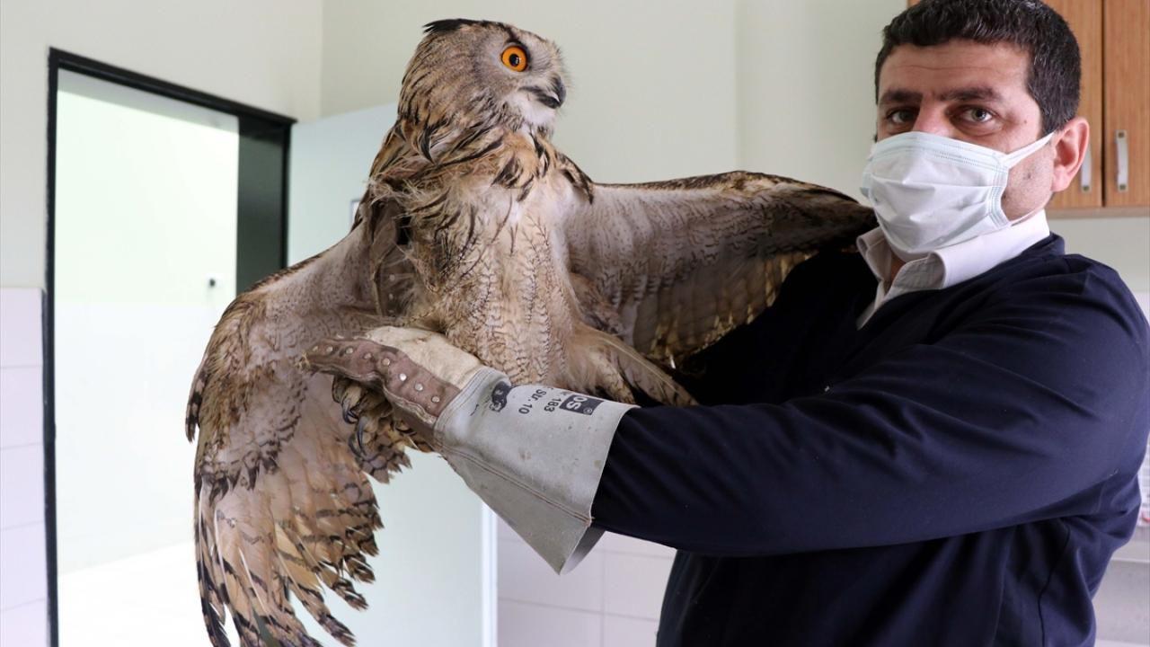 Elazığ'da bitkin bulunan kulaklı orman baykuşu tedavi altına alındı - Sayfa 2