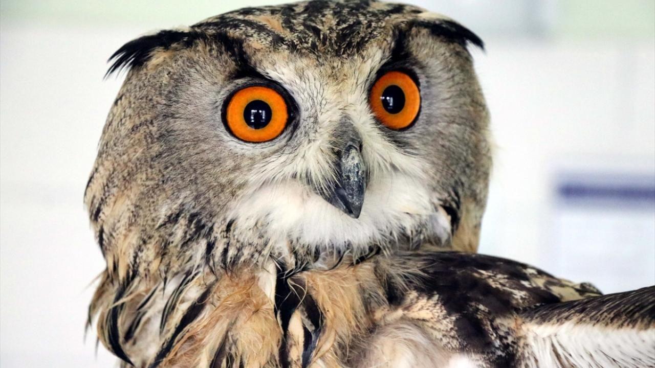 Elazığ'da bitkin bulunan kulaklı orman baykuşu tedavi altına alındı - Sayfa 3