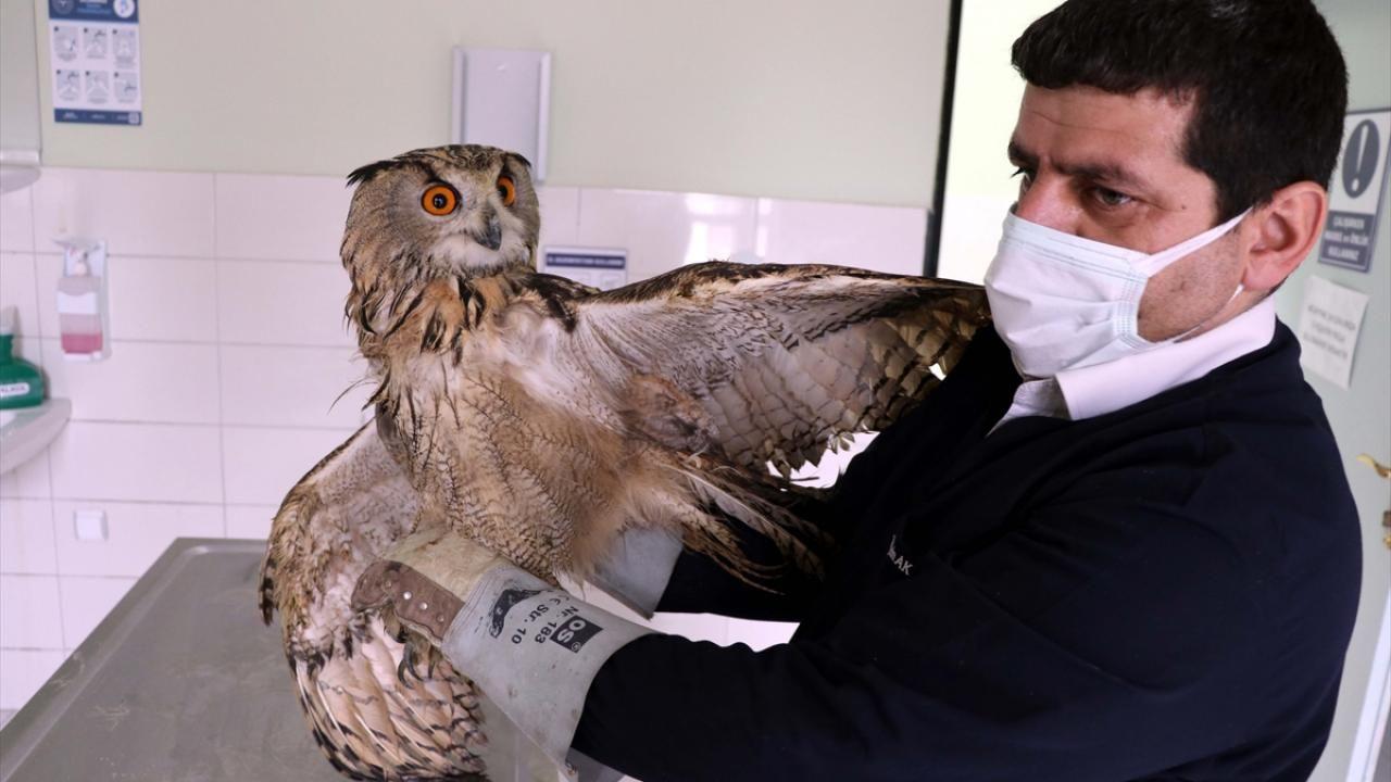 Elazığ'da bitkin bulunan kulaklı orman baykuşu tedavi altına alındı - Sayfa 4
