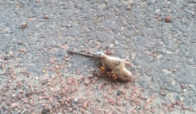 Dakikalarca kurtulmaya çalıştı ancak nafile! Eşek arısının fare avı dehşete düşürdü - Sayfa 3