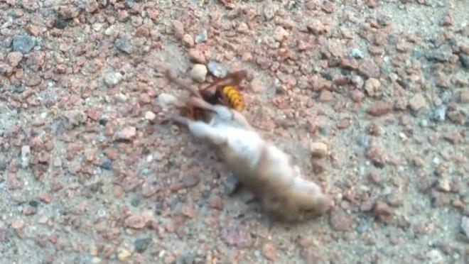 Dakikalarca kurtulmaya çalıştı ancak nafile! Eşek arısının fare avı dehşete düşürdü - Sayfa 4