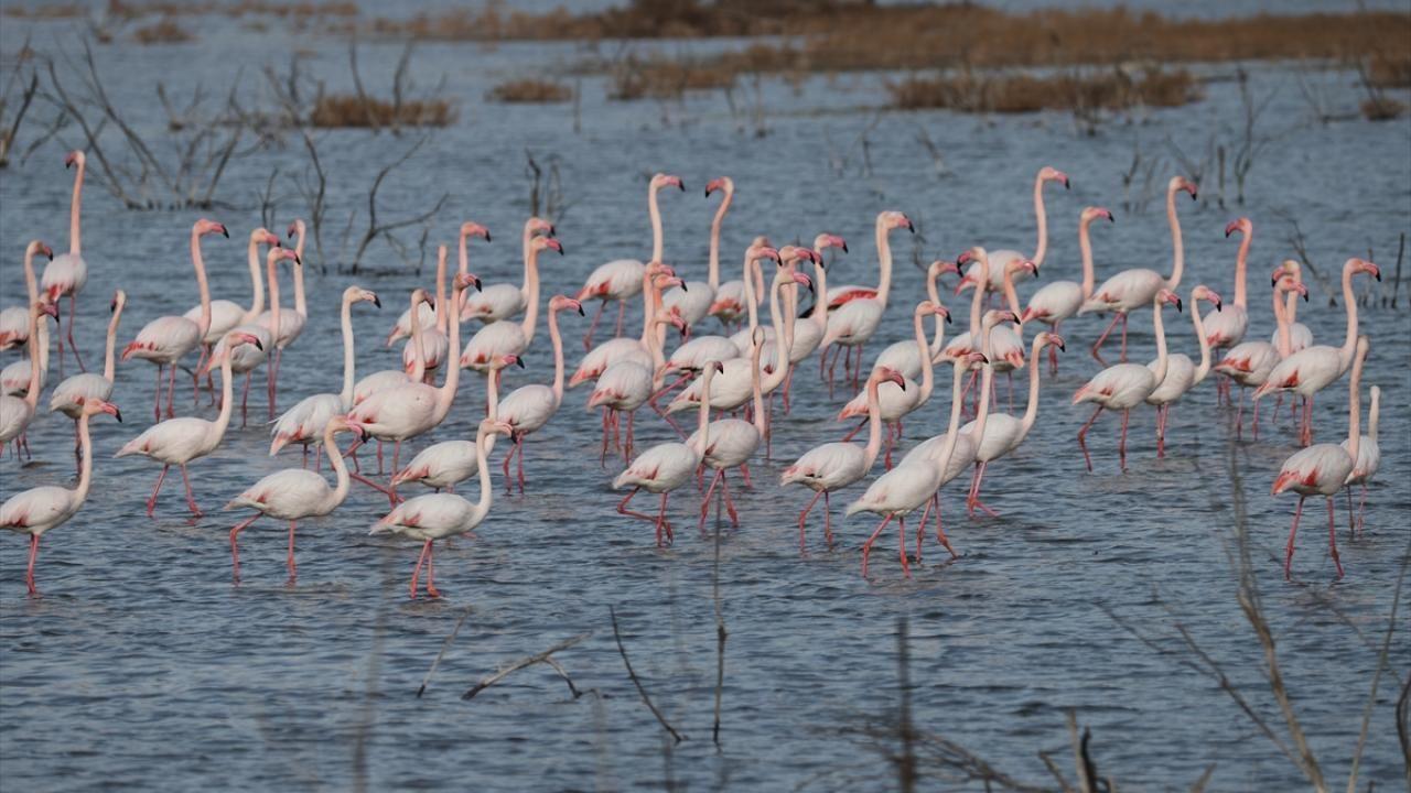 Gediz Deltası flamingolarla renklendi - Sayfa 1