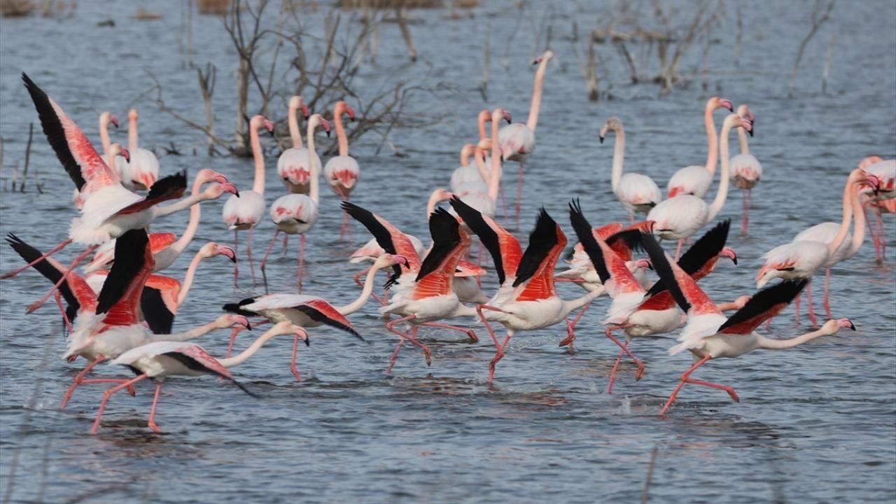 Gediz Deltası flamingolarla renklendi - Sayfa 2