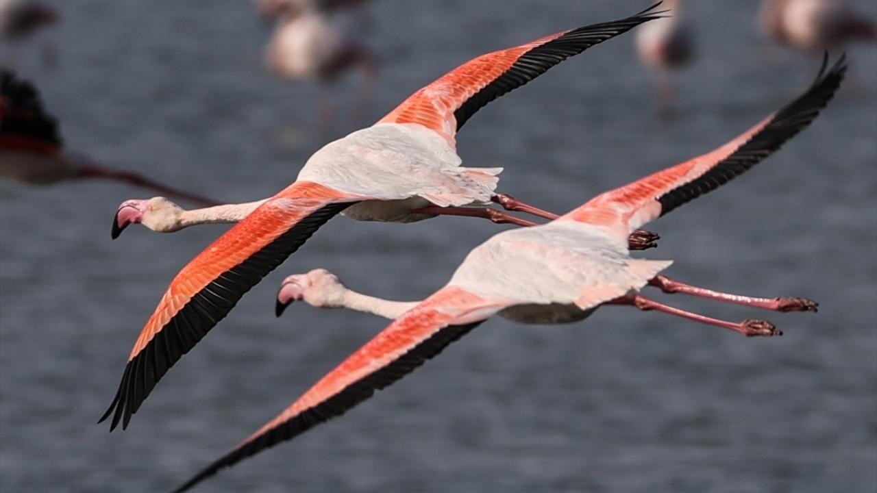 Gediz Deltası flamingolarla renklendi - Sayfa 4