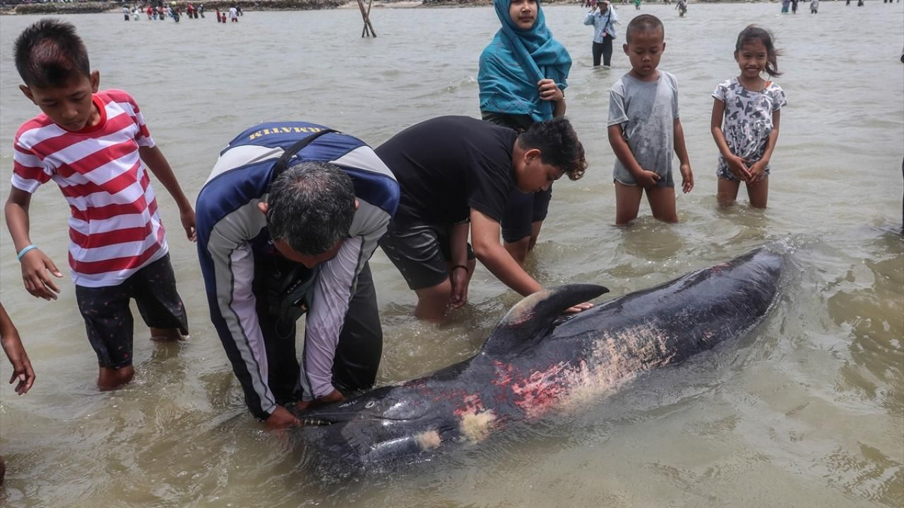 Endonezya'da pilot balinalar kıyıya vurdu - Sayfa 3