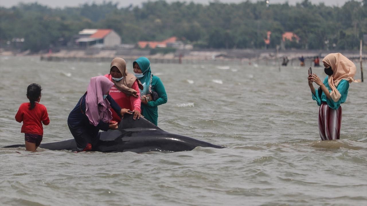 Endonezya'da pilot balinalar kıyıya vurdu - Sayfa 4