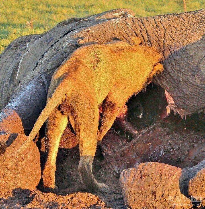 Aslandan kurtulmak için ölü filin içine gizlendi - Sayfa 2