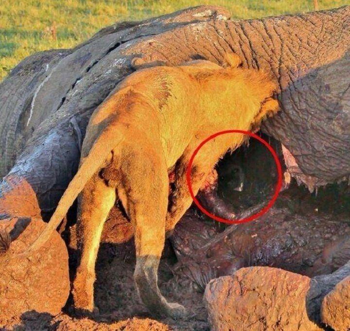 Aslandan kurtulmak için ölü filin içine gizlendi - Sayfa 3