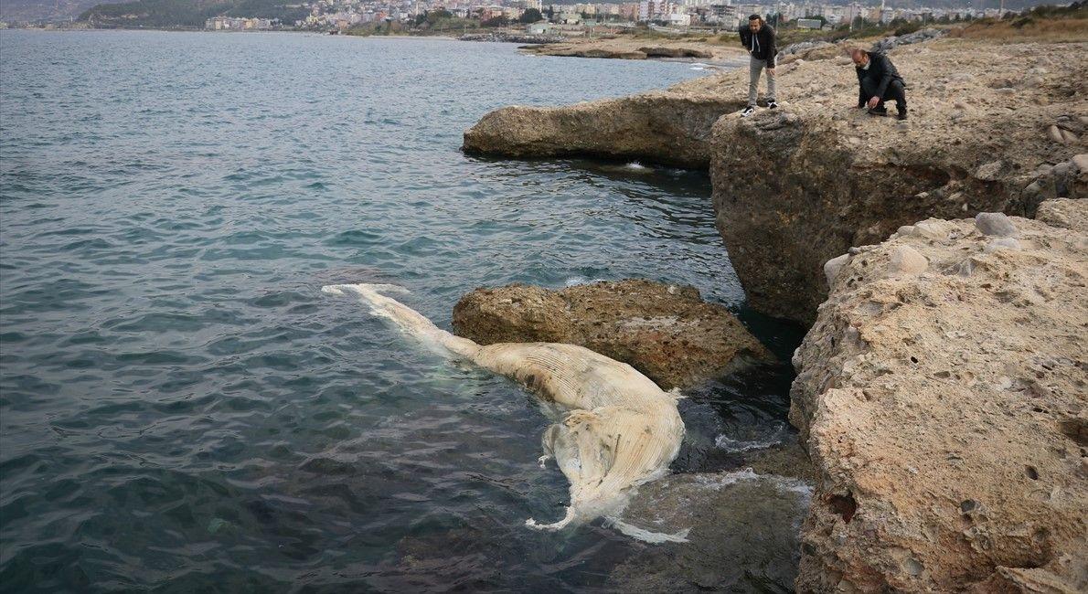 12 metrelik ölü balina yavrusu kıyıya vurdu - Sayfa 1
