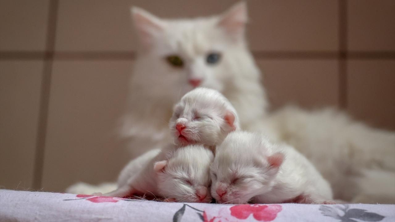 Van kedileri bu yılın ilk yavrularını dünyaya getirdi - Sayfa 1