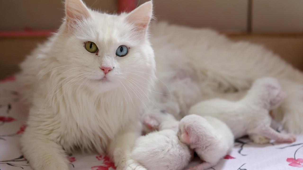 Van kedileri bu yılın ilk yavrularını dünyaya getirdi - Sayfa 3