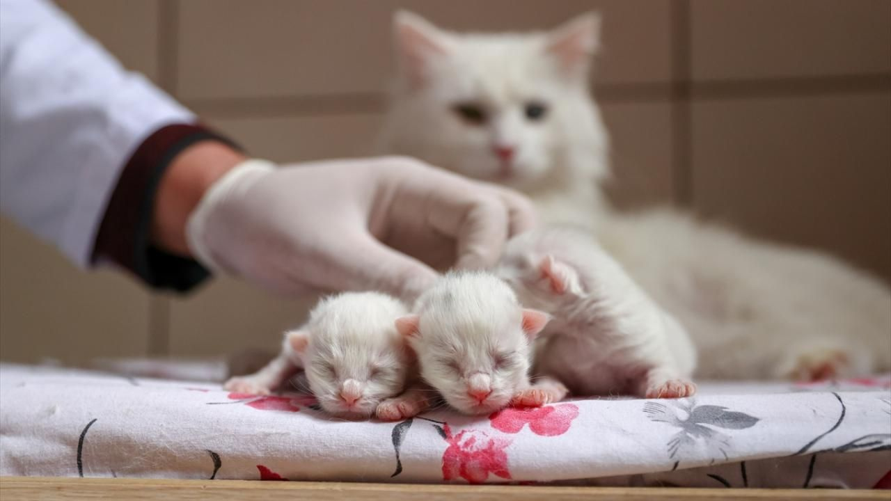 Van kedileri bu yılın ilk yavrularını dünyaya getirdi - Sayfa 4