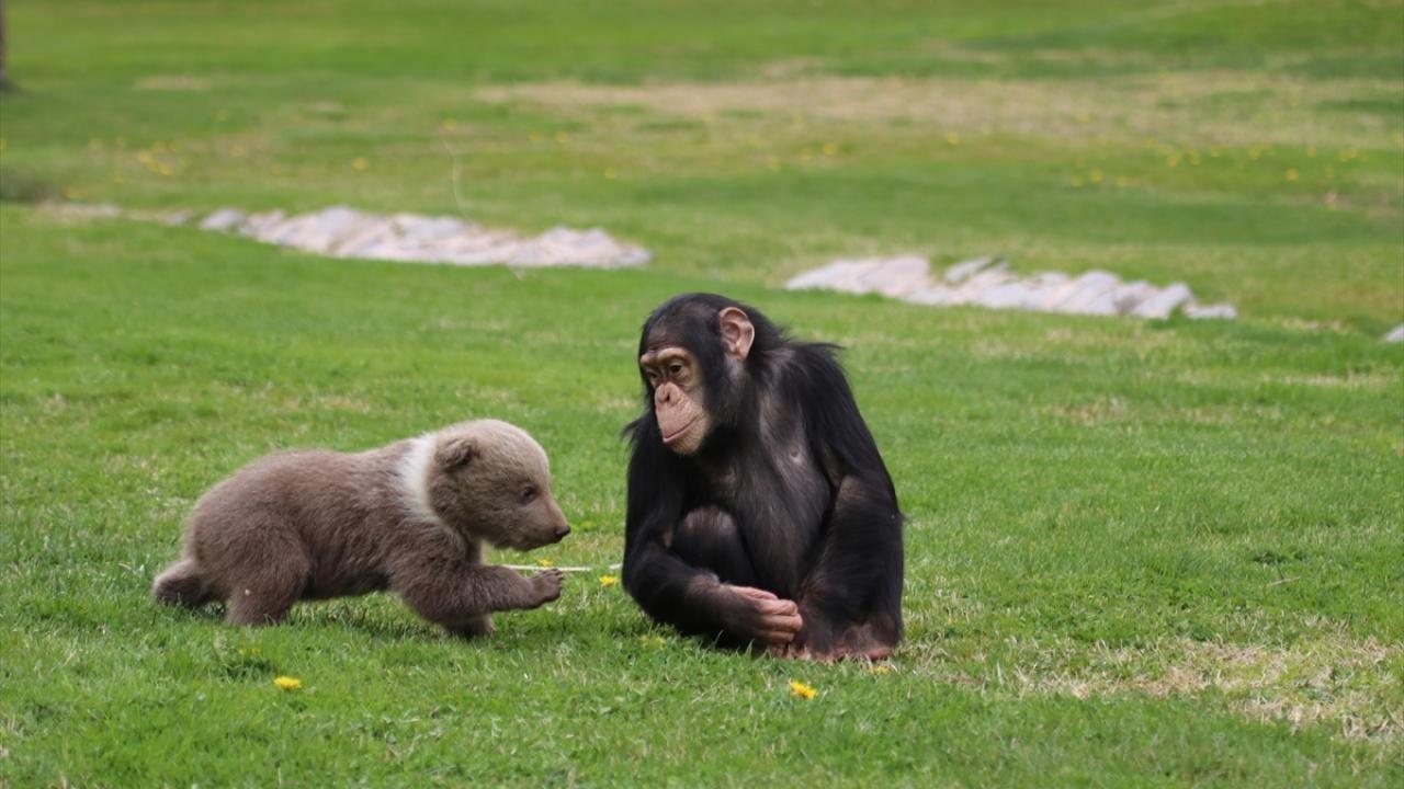 Şempanze 'Can' ile yavru ayı 'Boncuk'un sıcak dostluğu - Sayfa 2
