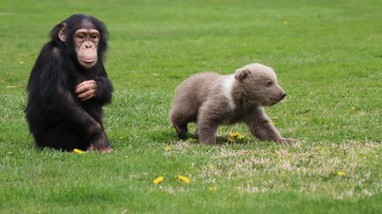 Şempanze 'Can' ile yavru ayı 'Boncuk'un sıcak dostluğu - Sayfa 3