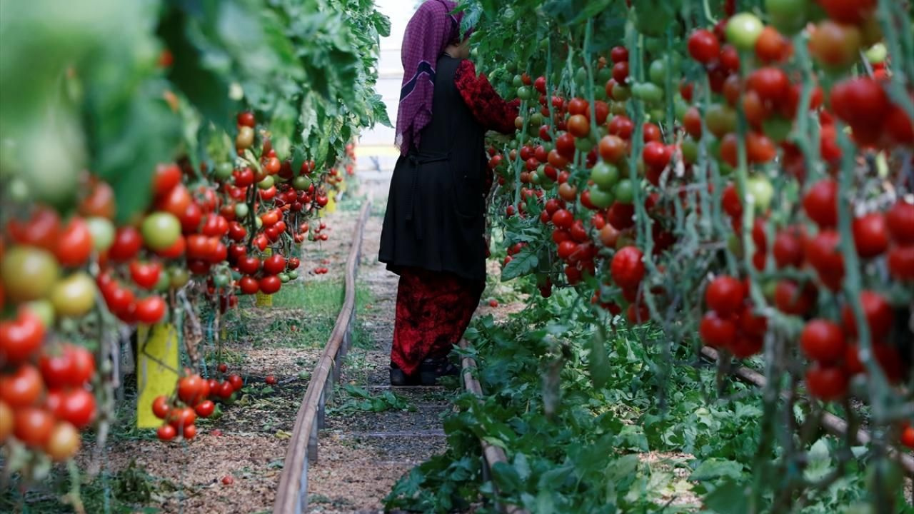 Yılın 3 ayında 128 milyon dolarlık domates ihracatı - Sayfa 1