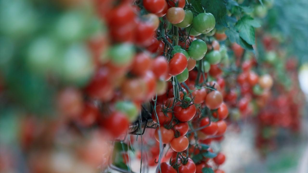 Yılın 3 ayında 128 milyon dolarlık domates ihracatı - Sayfa 2
