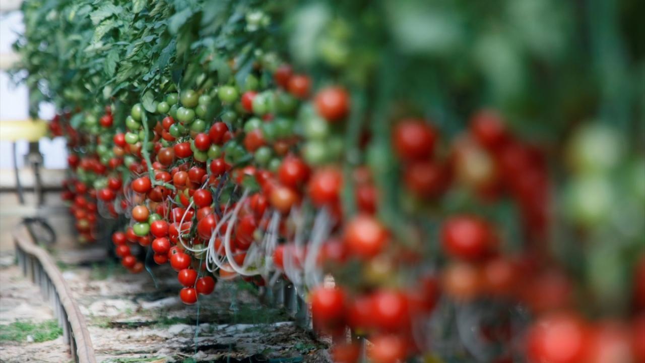 Yılın 3 ayında 128 milyon dolarlık domates ihracatı - Sayfa 3