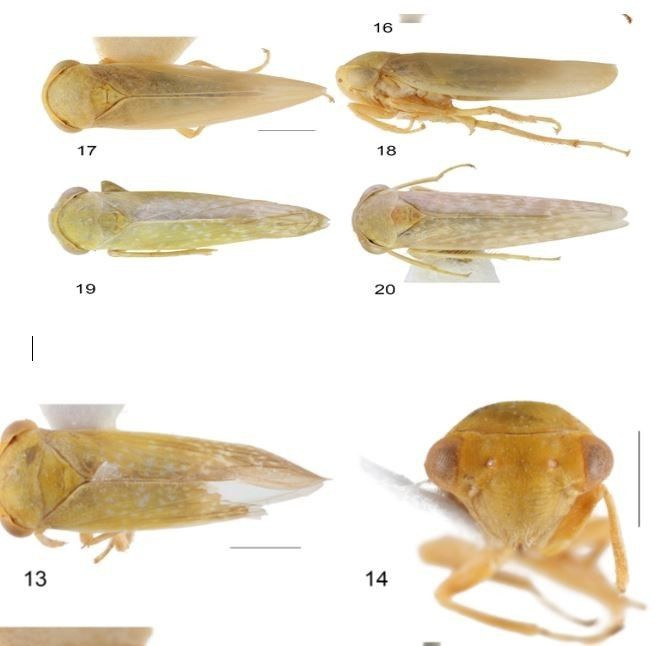 Achrus albicosta isimli böcek, Çin'den sonra ilk defa Elazığ'da görüldü - Sayfa 1
