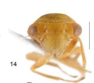 Achrus albicosta isimli böcek, Çin'den sonra ilk defa Elazığ'da görüldü - Sayfa 2