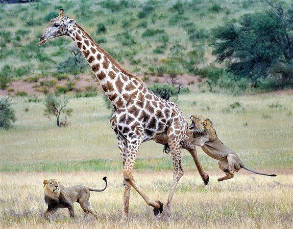 Aslan zürafayı gözüne kestirirse! Dehşete düşüren fotoğraflar. - Sayfa 1