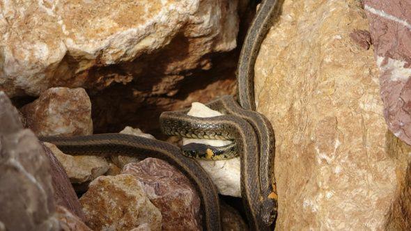 Hakkari'de yılan sürüsü görenleri şaşkına çeviriyor - Sayfa 1