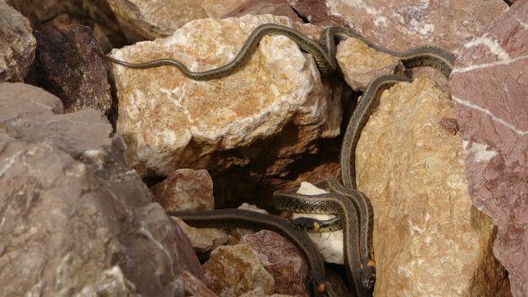 Hakkari'de yılan sürüsü görenleri şaşkına çeviriyor - Sayfa 2